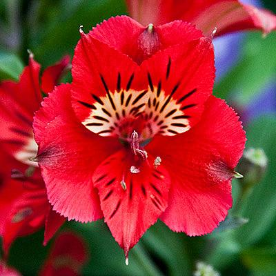 ALSTROEMERIA 'Princess Kate' (='Zaprikate'), Princess Lily