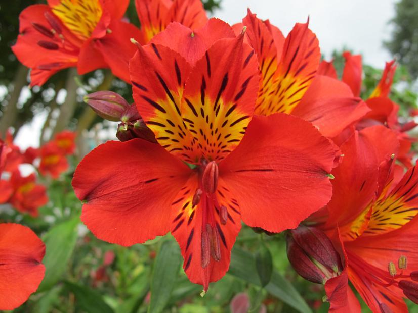 ALSTROEMERIA 'Red Sensation', Peruvian Lily