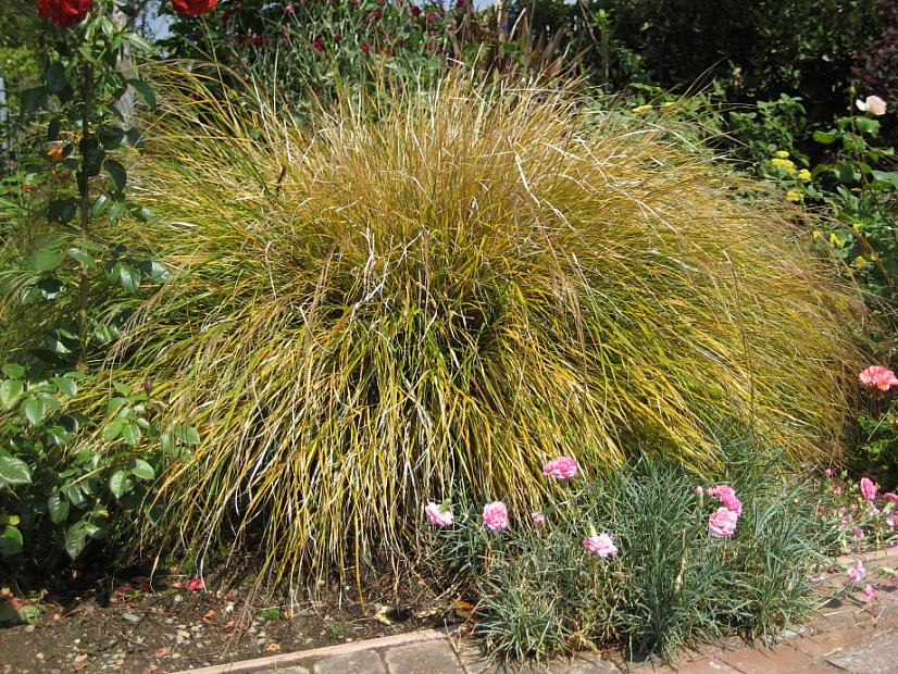 ANEMANTHELE lessoniana (syn. STIPA or APERA arundinacea), Feather Grass, Pheasant's-tail Grass