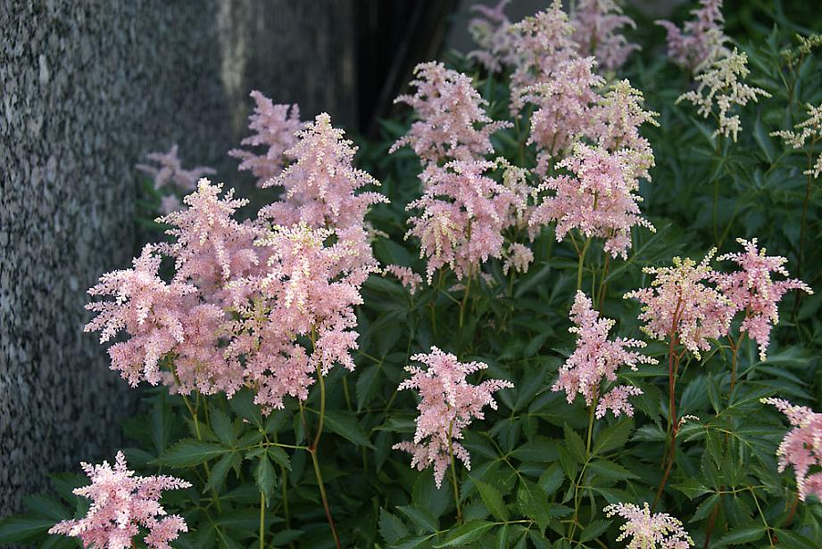 ASTILBE x arendsii 'Peach Blossom', False Spiraea, Meadow Sweet
