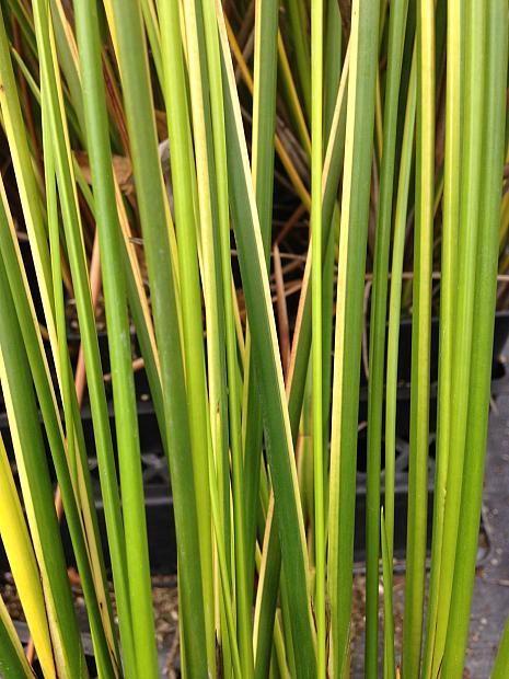 BAUMEA rubiginosa 'Variegata', Variegated Rush, Golden Sword