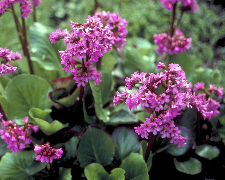 BERGENIA cordifolia 'Winter Glow', Heartleaf Bergenia