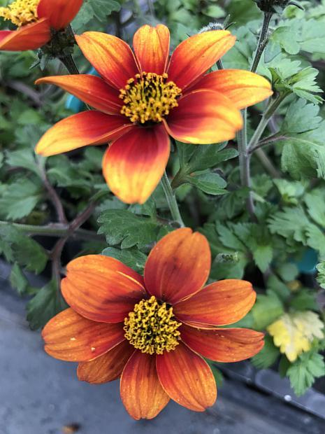 BIDENS 'Bee Orange Flame', Bidens