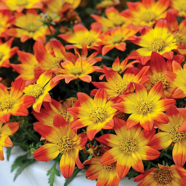BIDENS Beedance 'Painted Red', Bidens