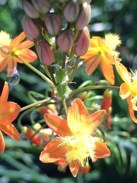 BULBINE frutescens 'Hallmark', Stalked Bulbine (syn. B. caulescens)