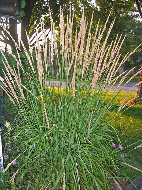 CALAMAGROSTIS x acutiflora 'Karl Foerster', Foerster's Feather Reed Grass