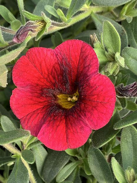 CALIBRACHOA hybrid Superbells 'Pomegranate Punch', Superbells Calibrachoa