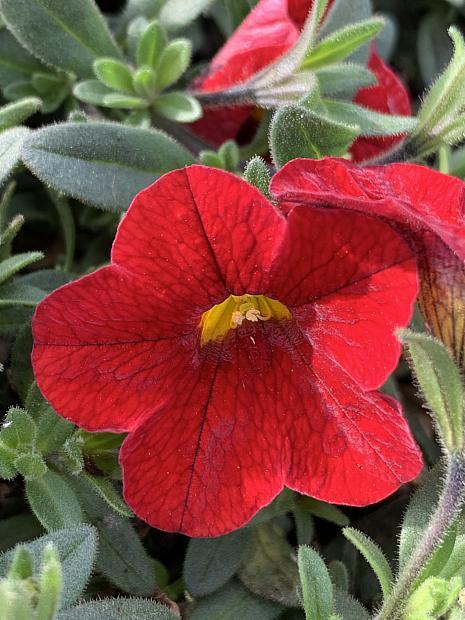 CALIBRACHOA hybrid Superbells 'Red', Superbells Calibrachoa