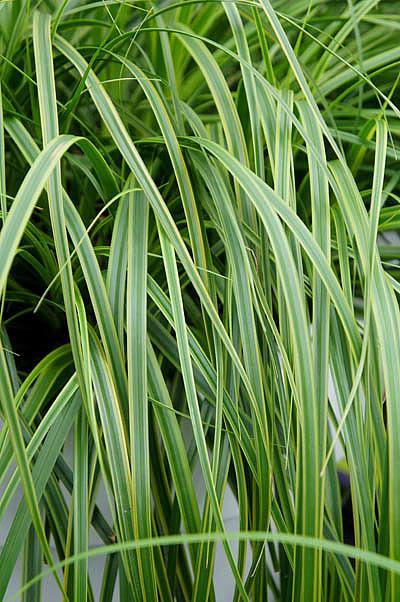 CAREX oshimensis 'Everlime', Japanese Sedge