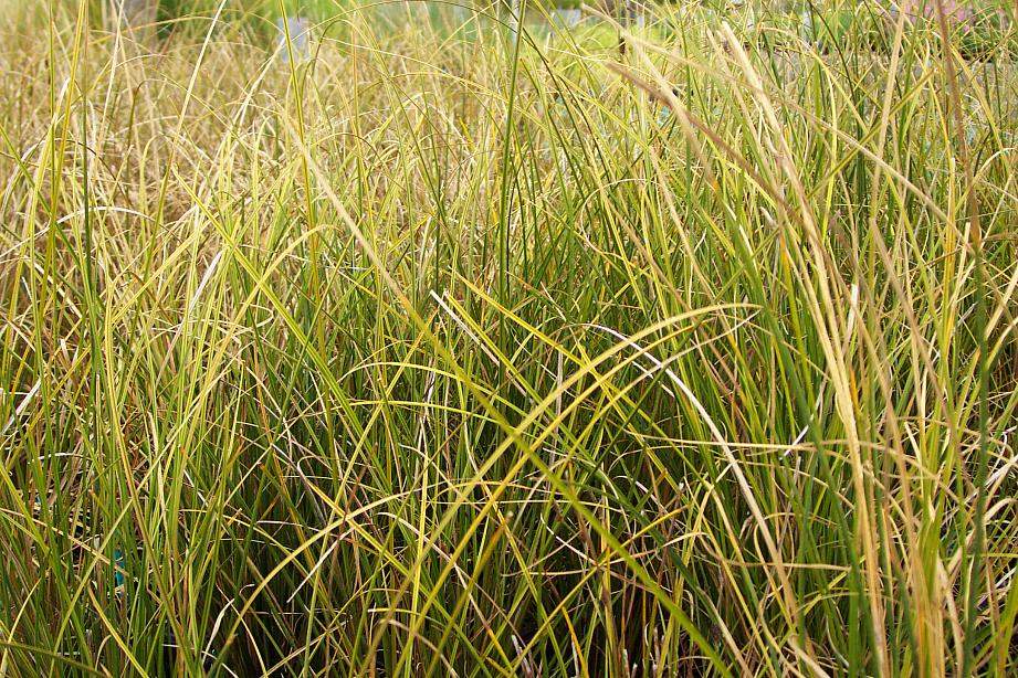 CAREX solandri, Bush Sedge
