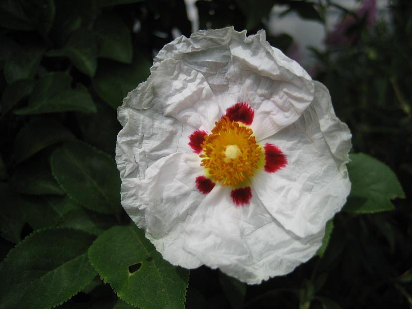 CISTUS ladanifer, Crimson-Spot Rockrose