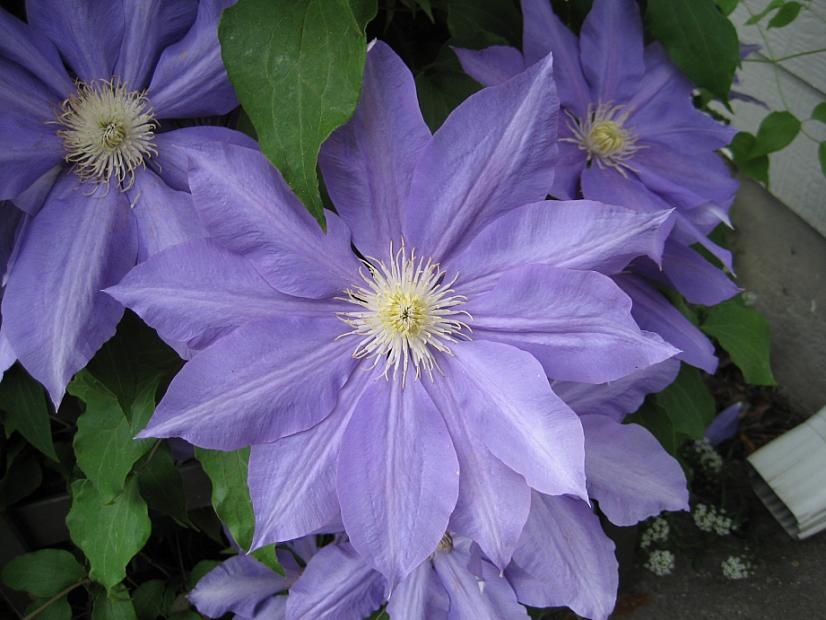 CLEMATIS 'H. F. Young', Clematis: Early Large-flowered type