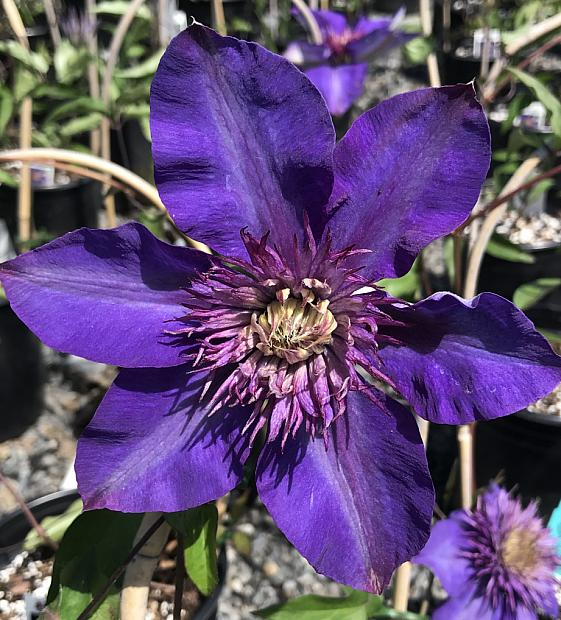 CLEMATIS 'Multi Blue', Clematis: Mid-season large-flowered type