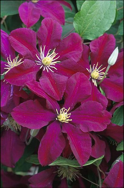 CLEMATIS 'Niobe', Clematis: Early Large-flowered type
