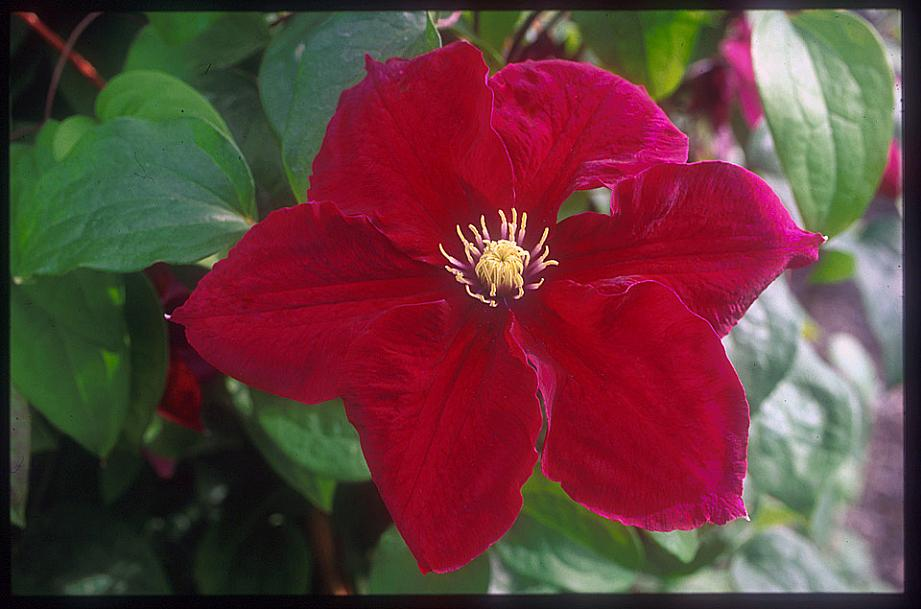 CLEMATIS 'Rosemoor', Clematis: Early Large-flowered type