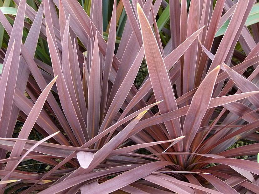 CORDYLINE australis 'Red Star', Torbay, Cabbage or Cornish Palm