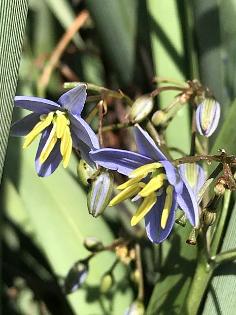 DIANELLA caerulea 'Cassa Blue',