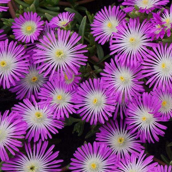 DELOSPERMA nubigenum Wheels of Wonder 'Violet Wonder', Iceplant