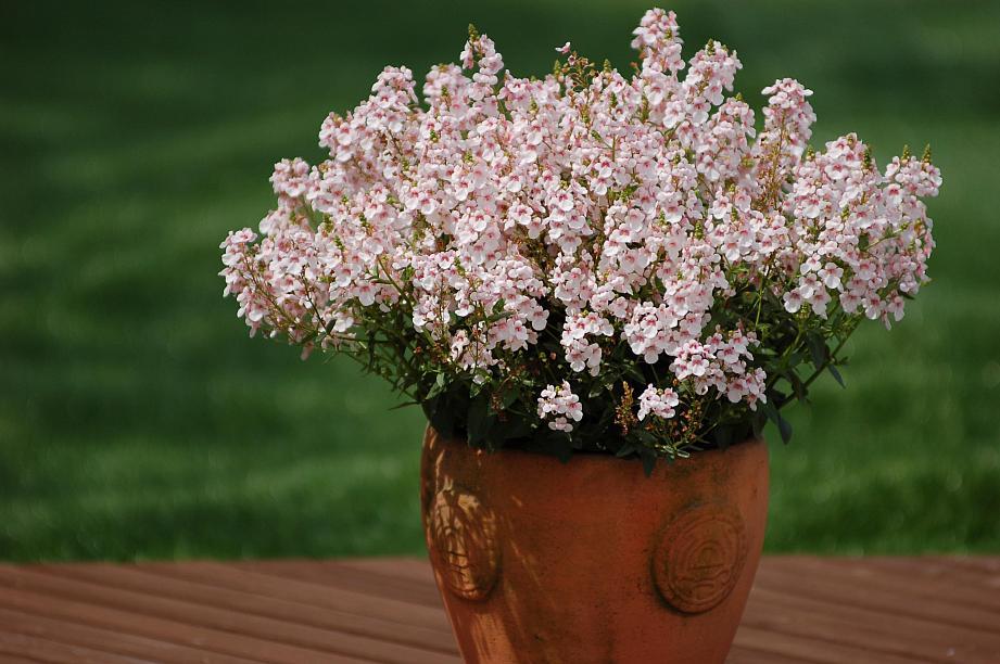 DIASCIA Sundiascia 'Upright Blush White', Twinspur