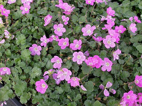 ERODIUM x variabile 'Bishop's Form', Alpine Geranium, Heronsbill, Storksbill