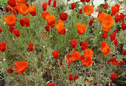 ESCHSCHOLZIA californica 'Red Chief', California Poppy