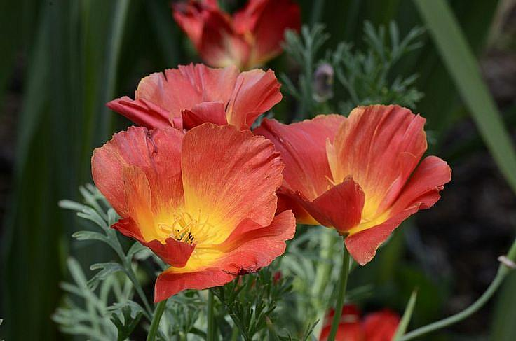 ESCHSCHOLZIA californica 'Strawberry Fields', California Poppy