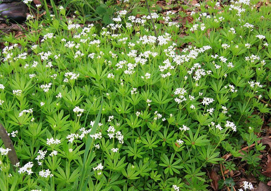 GALIUM odoratum (syn. ASPERULA odoratum), Sweet Woodruff