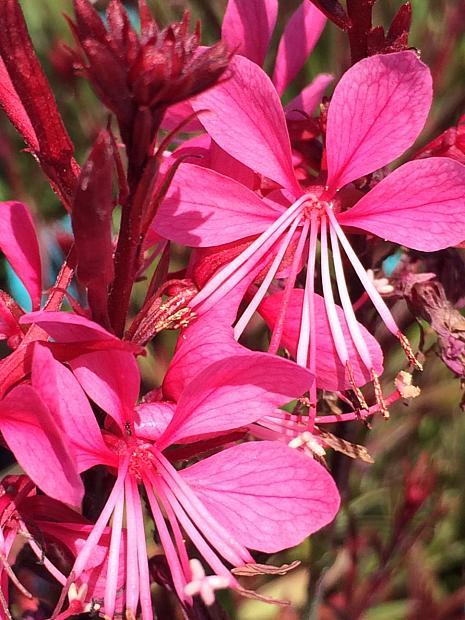 GAURA lindheimeri 'Passionate Rainbow', Beeblossom, Butterfly Flower, Wand Flower