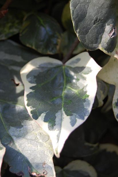 HEDERA helix 'Glacier', English or Common Ivy