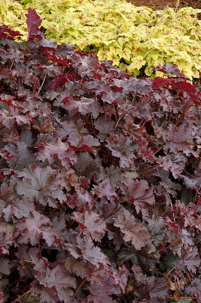 HEUCHERA 'Chocolate Ruffles', Alum Root, Coral Bells