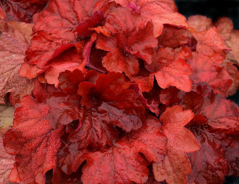 HEUCHERA 'Fire Alarm', Alum Root, Coral Bells