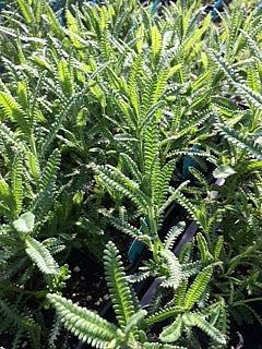 LAVANDULA dentata 'Green', Lavender, Toothed Lavender
