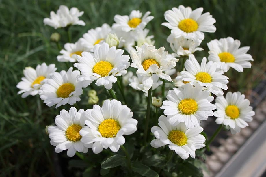 Picture of Live Shasta Daisy aka Leucanthemum Darling Daisy Plant Fit 1QRT Pot