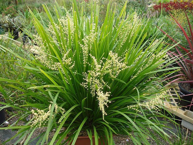 LOMANDRA longifolia 'Breeze',