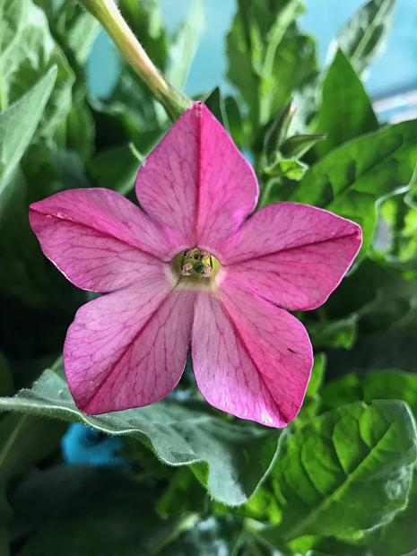 NICOTIANA x sanderae 'Perfume Bright Rose', Jasmine or Flowering Tobacco