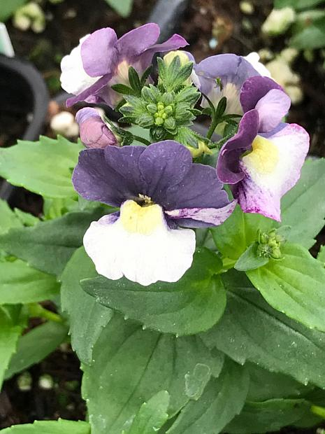 NEMESIA hybrid Penhow 'Cherry Blue', Nemesia