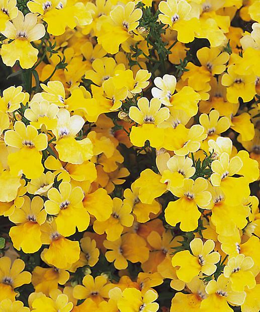NEMESIA hybrid Sunsatia 'Lemon Improved', Sunsatia Nemesia