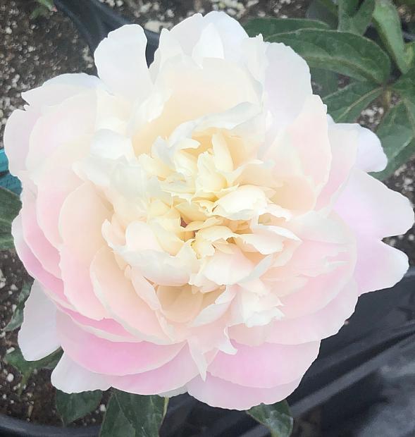PAEONIA lactiflora 'Shirley Temple', Bush Peony (herbaceous)