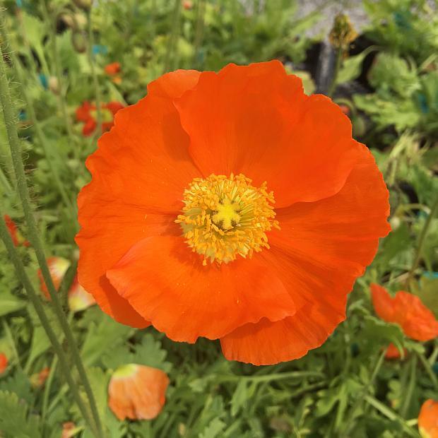 PAPAVER nudicaule 'Champagne Bubbles Orange' (Iceland Poppy), Icelandic Poppy