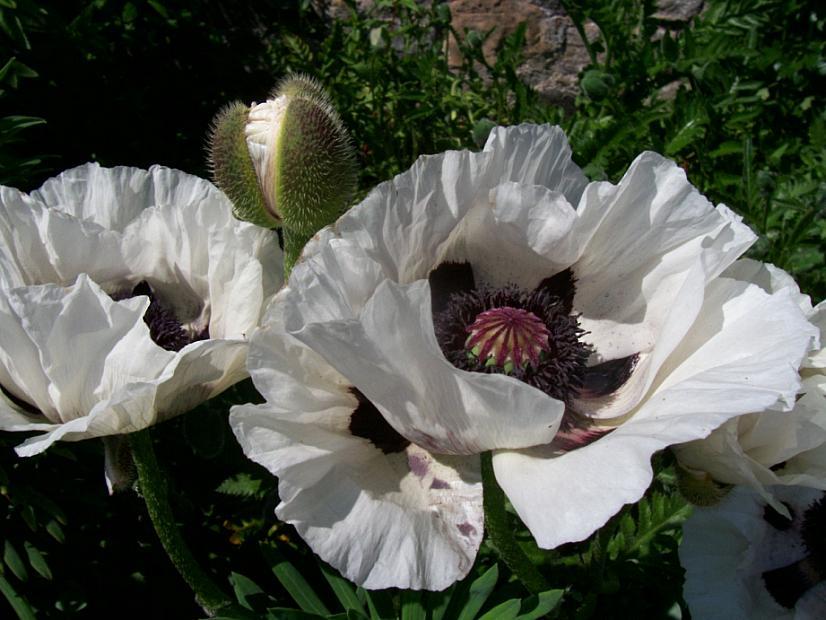 PAPAVER orientale 'Royal Wedding', Oriental Poppy