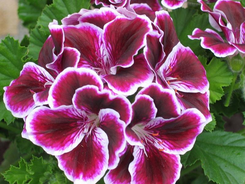 PELARGONIUM domesticum 'Elegance Imperial', Regal, Martha Washington Geranium