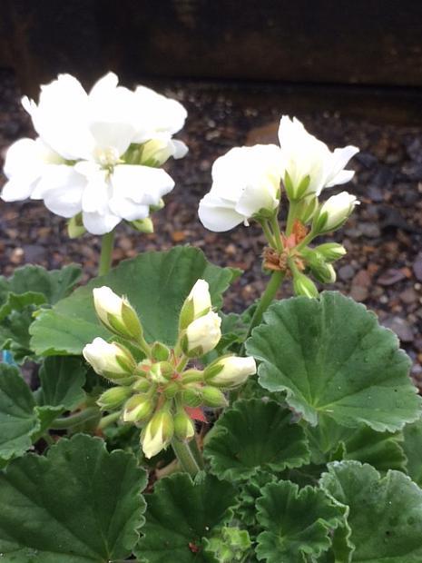 PELARGONIUM x hortorum 'Tango White', Zonal Geranium