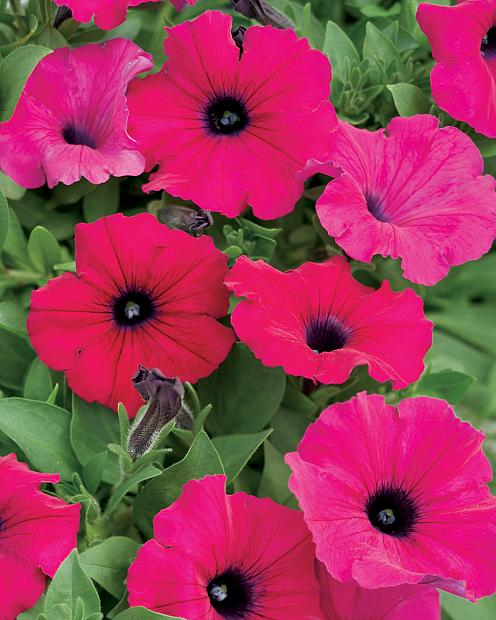 PETUNIA Supertunia 'Royal Magenta', Supertunia Petunia