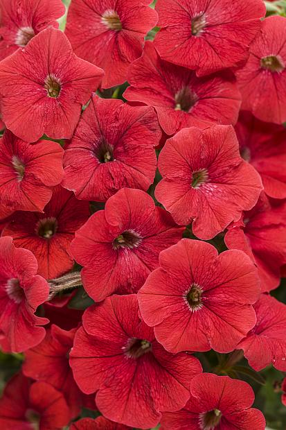 PETUNIA Supertunia 'Really Red', Supertunia Petunia