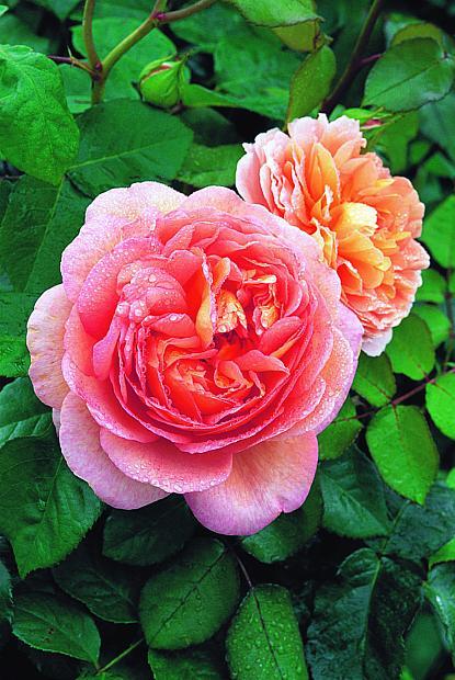 ROSA 'Abraham Darby' (=Auscot) (own root), David Austin English Rose