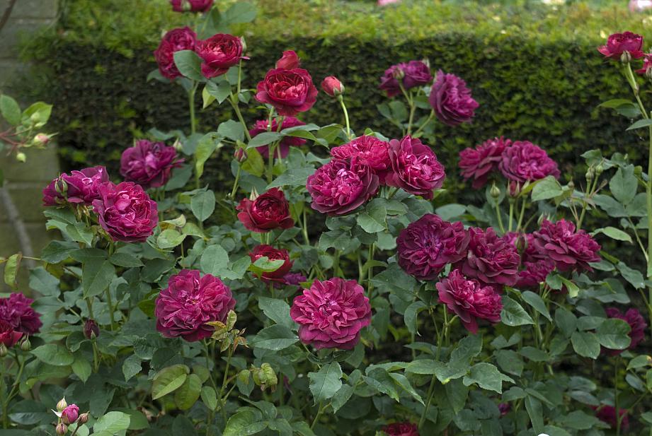 ROSA 'Darcey Bussell' (=Ausdecorum) (own root), David Austin English Rose
