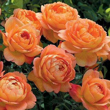 ROSA 'Lady of Shalott' (=Ausnyson), David Austin English Rose