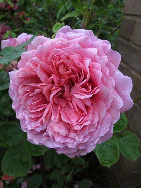 ROSA 'Princess Alexandra of Kent' (=Ausmerchant), David Austin English Rose