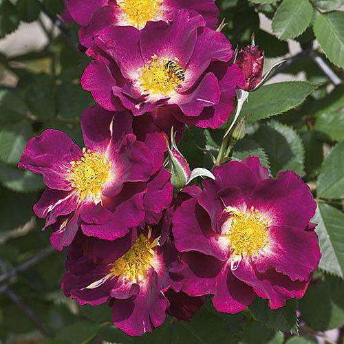 ROSA 'Stormy Weather', Large Flowered Climber