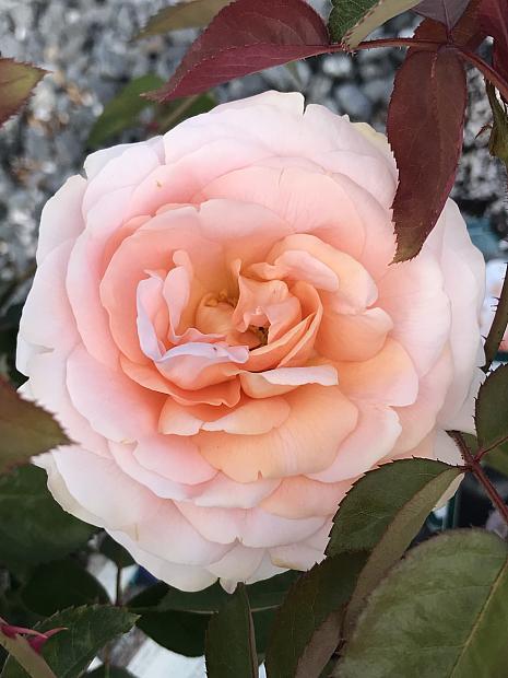 ROSA 'Tamora' (='Austamora), David Austin English Rose